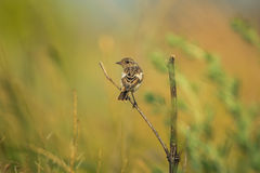 Male young Europian stonechat Stock Photography