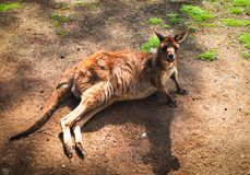 Male Young red kangaroo relaxing on the ground in the zoo. A Male Young red kangaroo relaxing on the ground in the zoo stock images