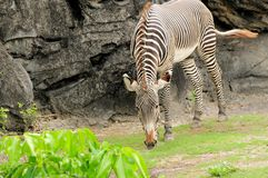 Male young zebra eating Stock Images