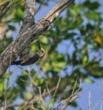 Male Yucatan woodpecker working up a lunch in the jungle in Mexi Stock Photography
