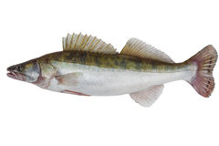 Male zander Stock Images