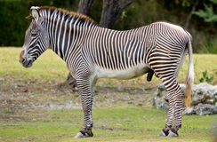 Male zebra Stock Image