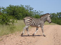 Male Zebra. Male Burchell's Zebra in the Kruger National Park, Mpumalanga, South Africa Royalty Free Stock Photo