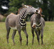 Male Zebra. A pair of male Zebra fighting Royalty Free Stock Images