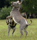 Male Zebra. A pair of male Zebra fighting Stock Image