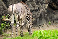 Male zebra eating. Young Grevy's Zebra eating in a South Florida zoo Stock Photo