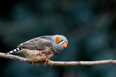 Male Zebra finch Royalty Free Stock Photo