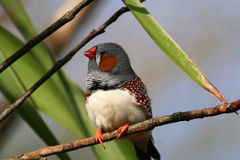 Male zebra finch Stock Images