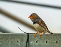 Male zebra finch in a aviary, popular pet in aviculture, tropical bird from Australia royalty free stock photos
