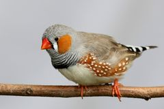 Male Zebra Finch. Perched on a branch Stock Photography