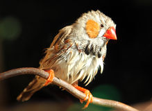 Male Zebra finch Taeniopygia guttata drying feathers after rai Royalty Free Stock Photo