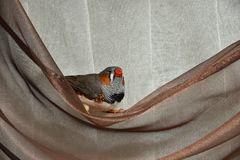 Male zebra finch Taeniopygia guttata. Zebra finch sits on a curtain royalty free stock photo