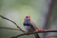 Male Zebra Finch (Taeniopygia guttata) On Twig Royalty Free Stock Image