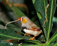 Male Zebra Finch with twig. (Taeniopygia guttata ) Stock Photos