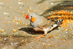 Male Zebra finches lat. Taeniopygia guttata is a bird of the family of finches weaverbirds. Sunny day stock photo
