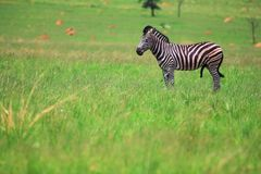 Male Zebra in a green field Stock Photos