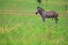 Male Zebra in a green field Stock Photos