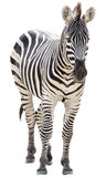 Male zebra isolated Royalty Free Stock Image