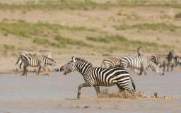 Male Zebra running through water, calling, Serengeti, Tanzania. Male Zebra running through water, calling, Serengeti National Park, Tanzania Royalty Free Stock Photos