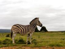Male Zebra Stock Photography