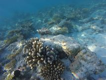 Maledides reefs and blue water. Maledives reefs and blue underwater Stock Images