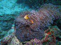 Maledivische anemonefish - Blackfoot anemonefish Stock Foto's