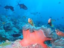 Maledivische anemonefish - Blackfoot anemonefish Royalty-vrije Stock Afbeeldingen