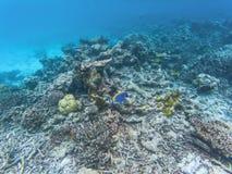 Maledivische Rifffische Stockbild