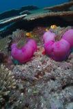 Maledivisches anemonefish Lizenzfreies Stockfoto