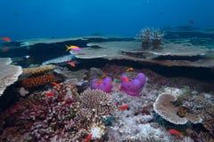 Maledivisches anemonefish Lizenzfreie Stockfotos