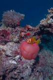 Maledivisches anemonefish Lizenzfreies Stockbild
