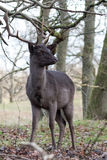 MaleFallow deer. Male brown fallow deer standing in the bushes Stock Image