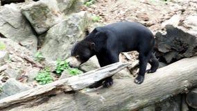 Maleis draag in de aardhabitat Zeldzaam dier stock video