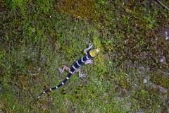 Maleis Gestreept Forest Gecko, neiging-toed gekko beklimmend op mos bij nacht in Maleisië royalty-vrije stock foto