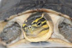 Maleise doosschildpad Stock Afbeeldingen