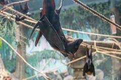 Maleise Knuppel die (Pteropus-vampyrus) op een kabel hangen Royalty-vrije Stock Afbeeldingen