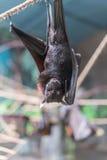 Maleise Knuppel die (Pteropus-vampyrus) op een kabel hangen Royalty-vrije Stock Foto