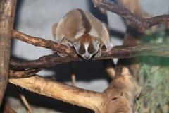 Maleise langzame loris stock afbeelding