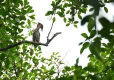 Maleise nachtreiger, wilde vogel in Vietnam royalty-vrije stock fotografie