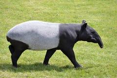 Maleise tapir die op gras lopen stock foto's