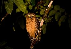 Maleise Visuil, Buffy Fish-Owl, Ketupa ketupu royalty free stock photo