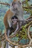 Maleisie Penang обезьяны на ботаническом саде стоковые фотографии rf