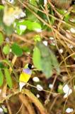 Malel Gouldian finch ptak Obraz Royalty Free