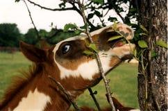 Malen Sie das Fohlen, das Blätter isst Stockfotos