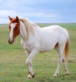 Malen Sie das Pferden-Gehen Stockfoto