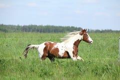 Malen Sie den Pferdehengst, der in grünes Gras läuft Stockfotografie