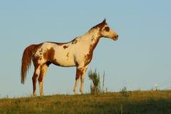 Malen Sie Pferd sideview Stockbilder