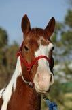 Malen Sie Pferden-Portrait lizenzfreie stockfotografie