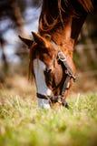 Malen Sie Pferdeportrait Lizenzfreie Stockfotos