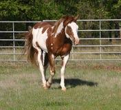 Malen Sie Stallion Lizenzfreies Stockbild